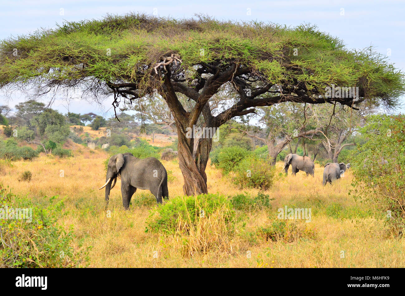Tarangire national park is an excellent game viewing destination in Tanzania. Elephant under acacia tortilla - Stock Image