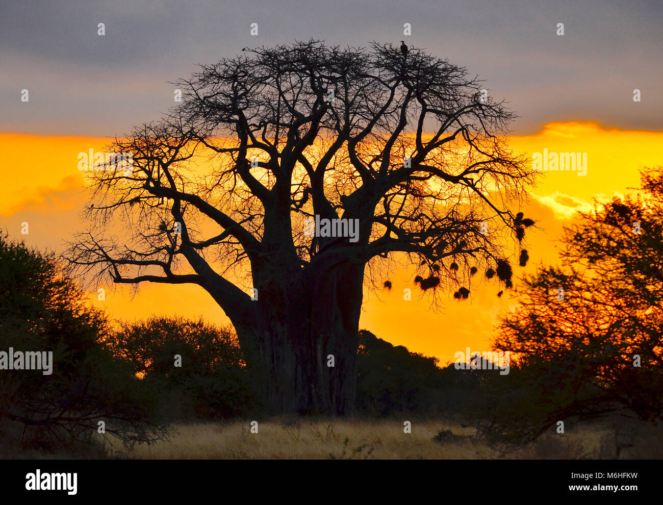 Tarangire national park is an excellent game viewing destination in Tanzania. Baobab tree at sunrise. - Stock Image