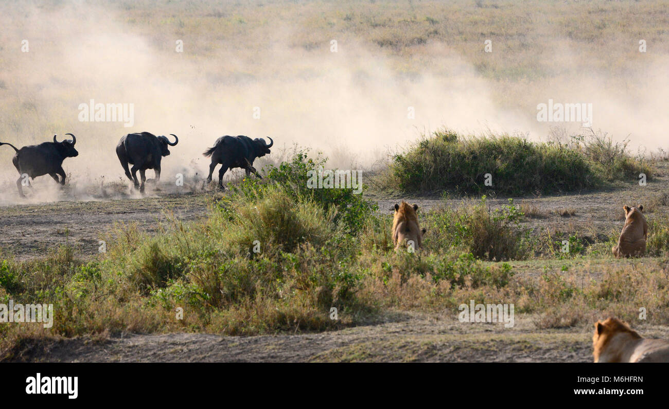 Serengeti National Park in Tanzania, is one of the most spectacular wildlife destinations on earth. Lions hunting - Stock Image