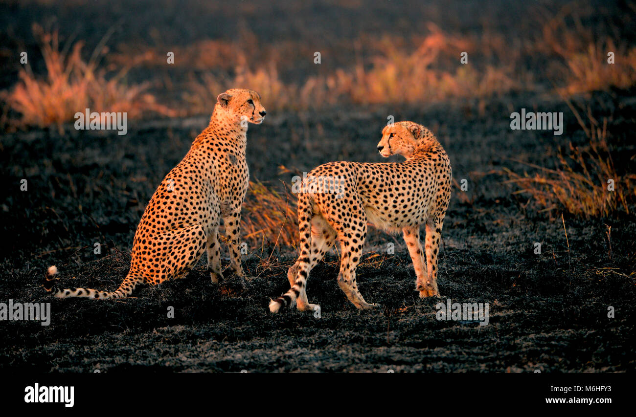 Serengeti National Park in Tanzania, is one of the most spectacular wildlife destinations on earth. Cheetah brother - Stock Image