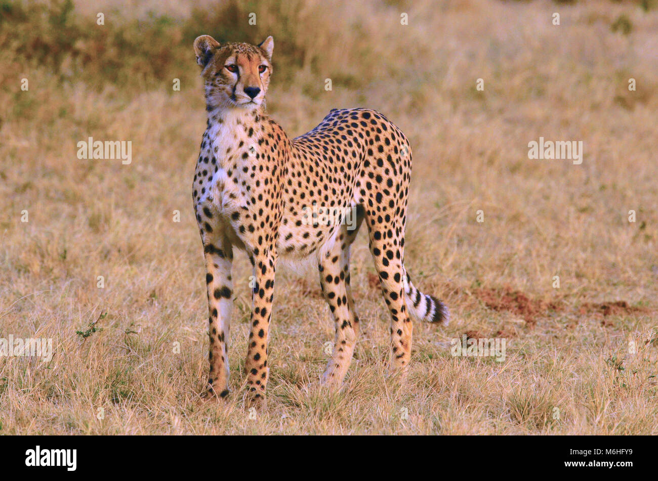 Serengeti National Park in Tanzania, is one of the most spectacular wildlife destinations on earth. Nervous cheetah - Stock Image