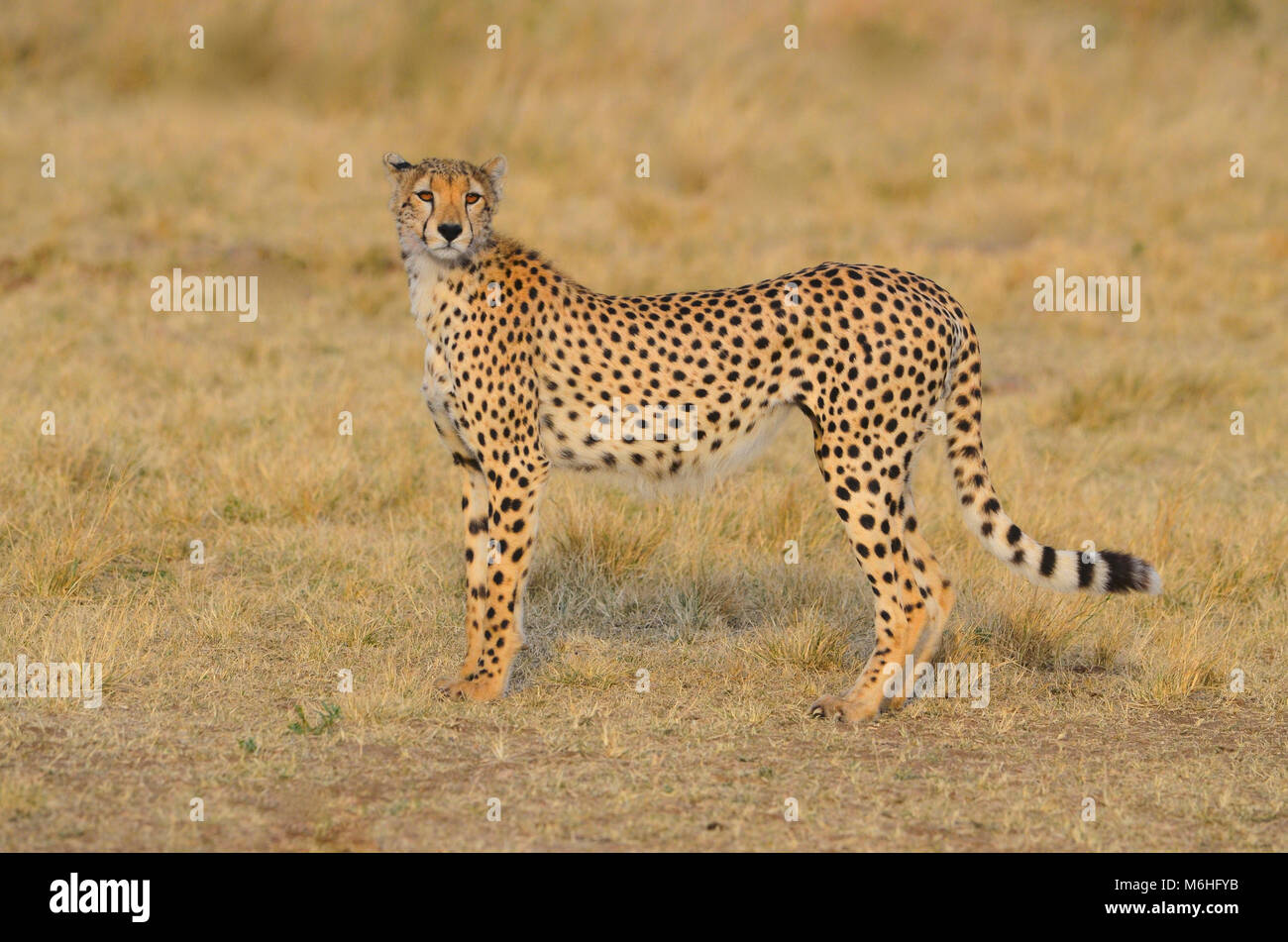 Serengeti National Park in Tanzania, is one of the most spectacular wildlife destinations on earth. Alert cheetah - Stock Image