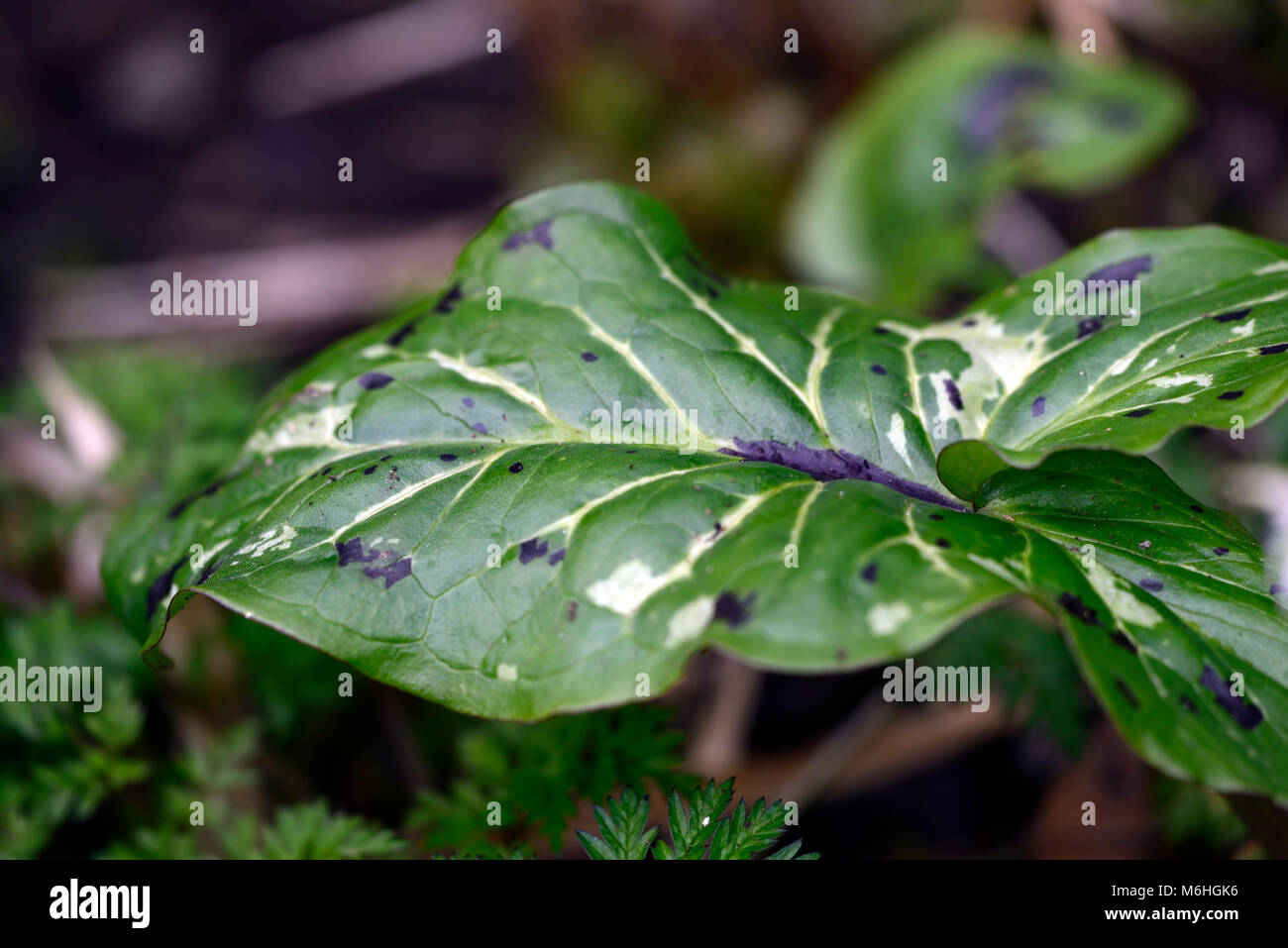 arum italicum subsp italicum spotted jack, mottled, spotted, leaves, foliage, Green, White, variegated, lords and - Stock Image