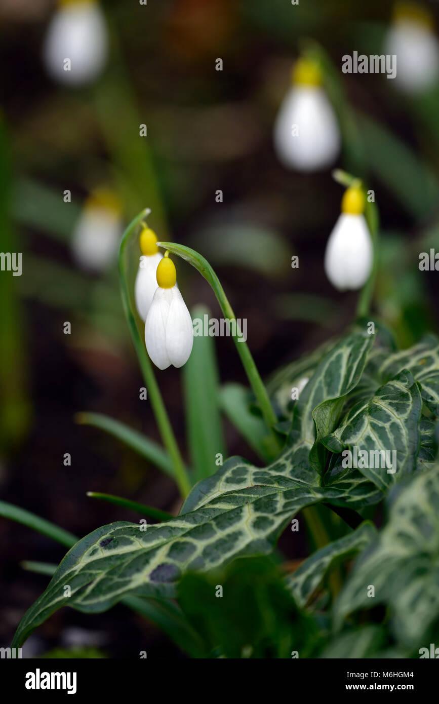 arum italicum subsp italicum marmoratum,arum italicum pictum,Green,variegated,Foliaege,Leaves,woodland,shade,Galanthus - Stock Image