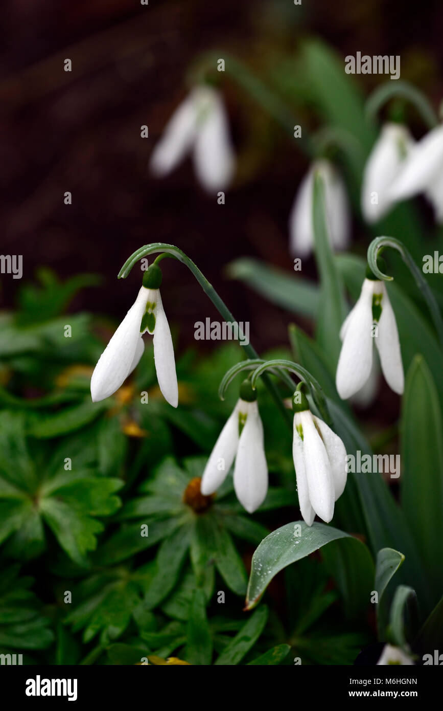 galanthus sickle, snowdrop, snowdrops, spring, flower, flowers, flowering, white,RM Floral - Stock Image