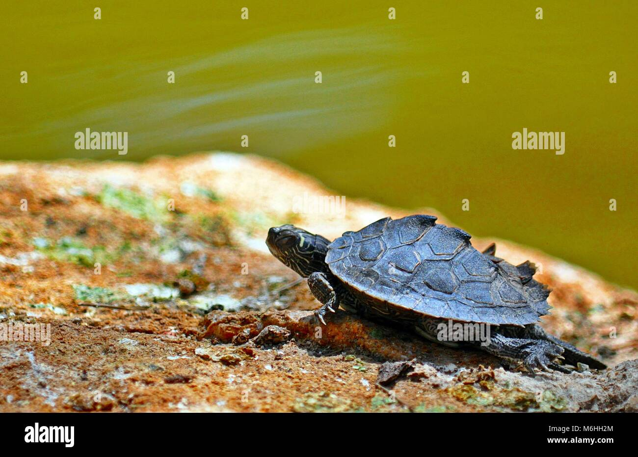 Small pet Turtle over a rock on a lake - Stock Image