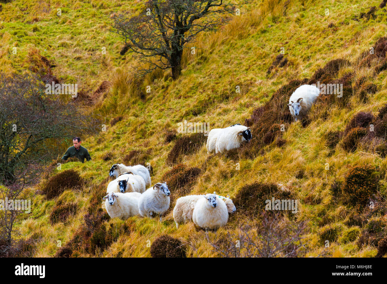 A shepherd and his sheep in the hills on the Isle of Skye. - Stock Image