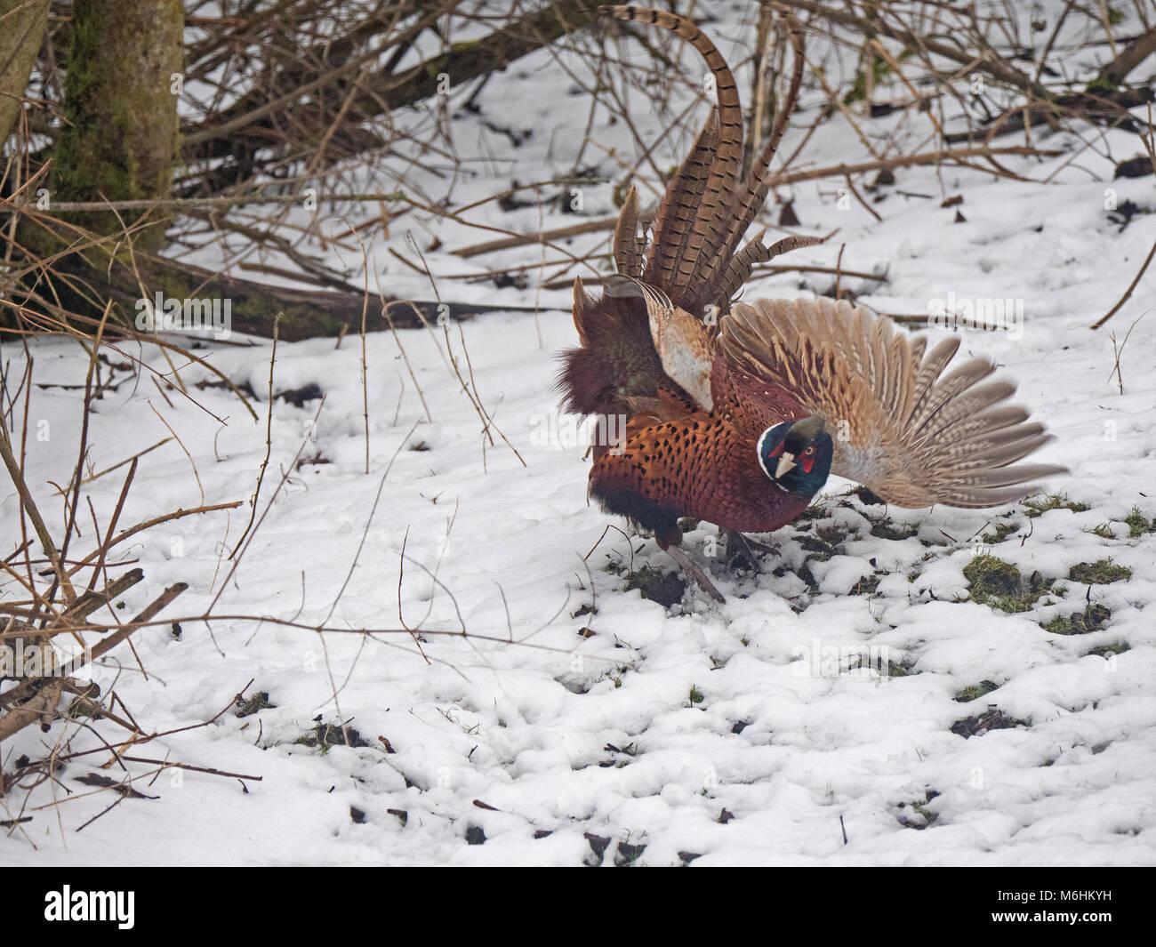 Pheasant Woodland Stock Photos & Pheasant Woodland Stock Images - Alamy