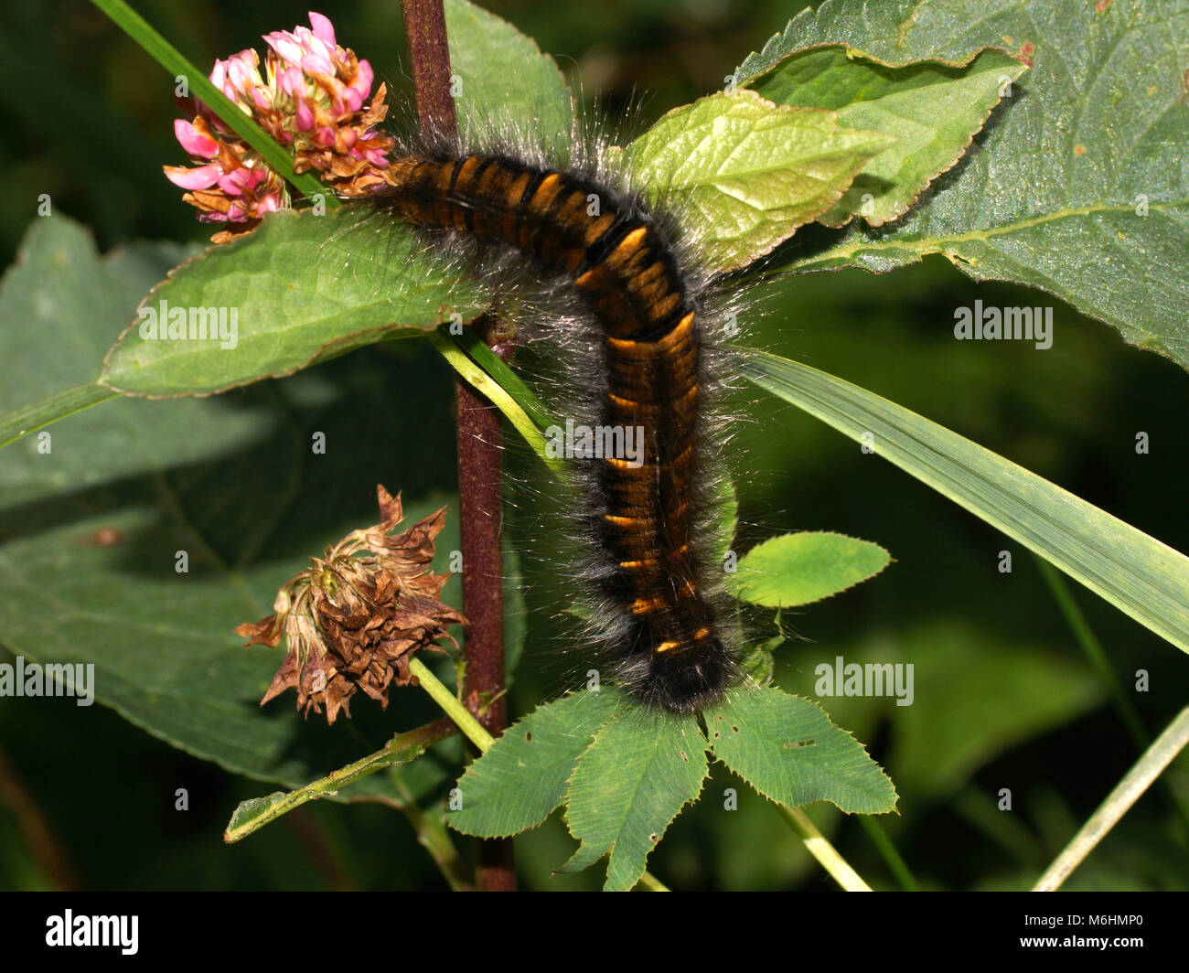 Large brown hairy caterpillar on the plant. Macrothylacia rubi, the fox moth, is a lepidopteran belonging to the - Stock Image