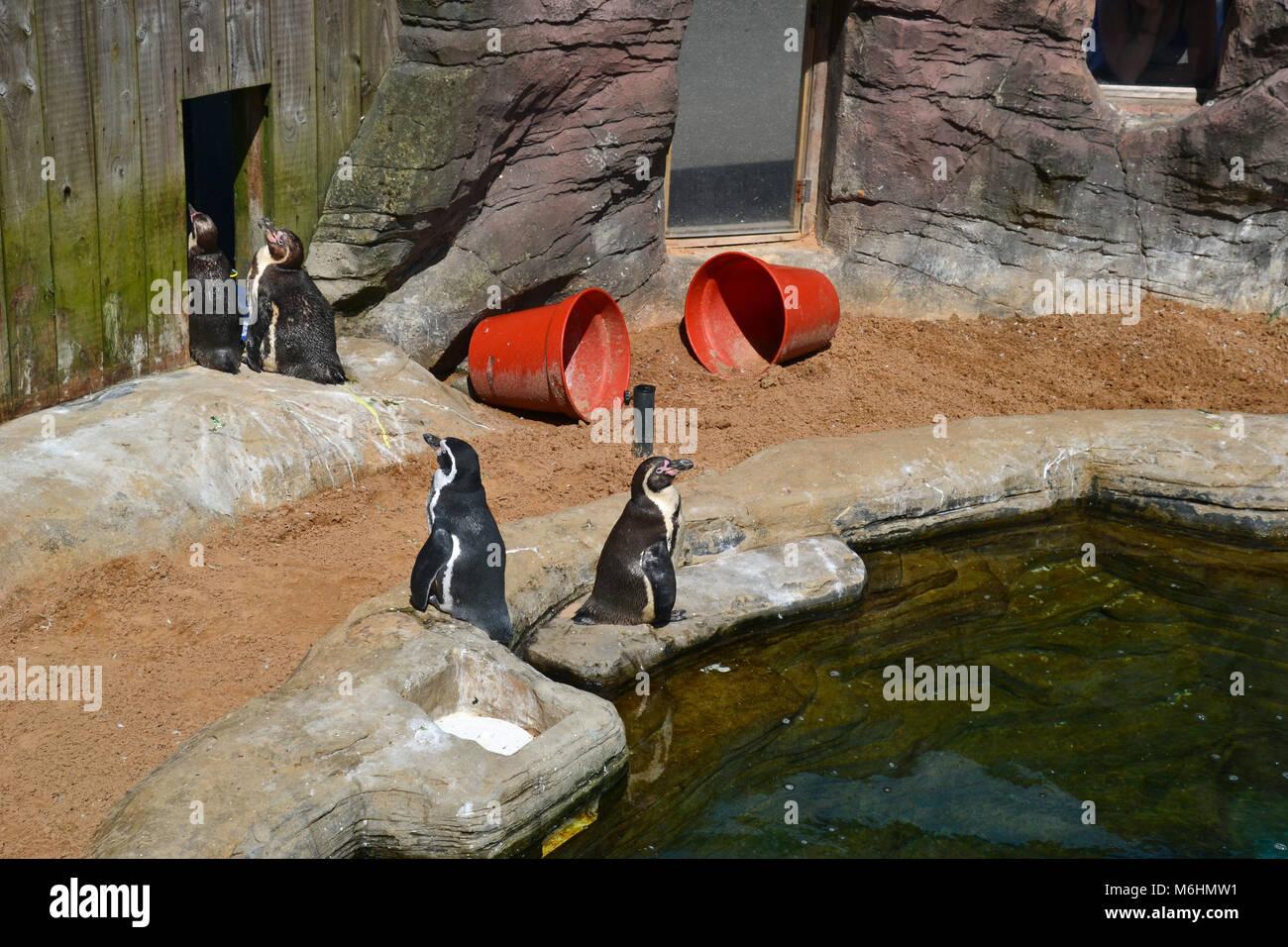 Humboldt Penguins at Gweek Seal Sanctuary Cornwall - Stock Image