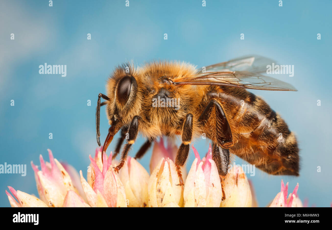 Western Honey Bee, close up macro photography - Stock Image