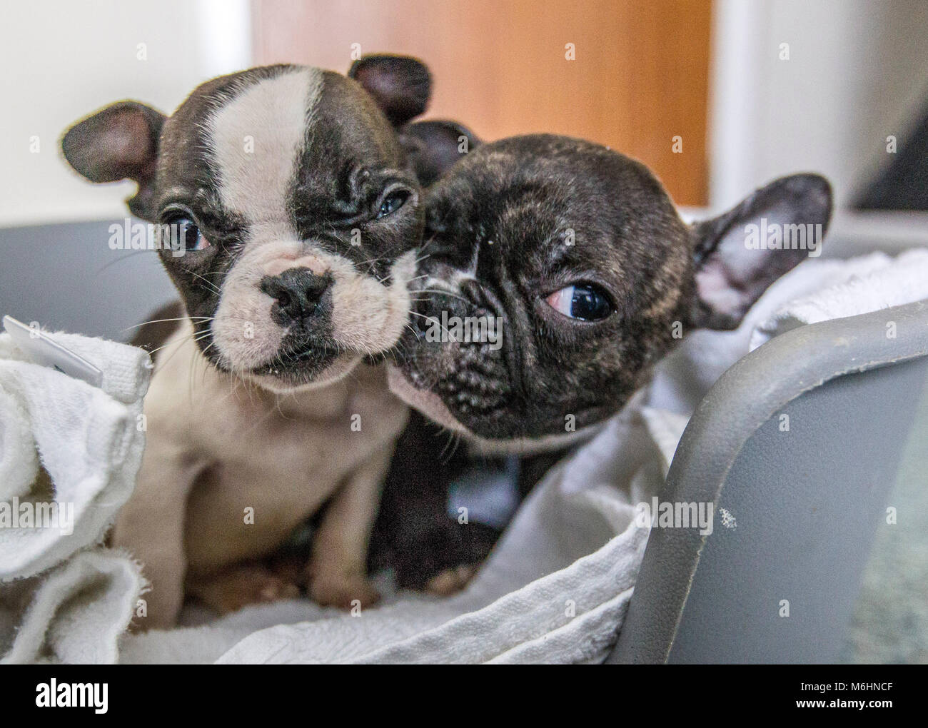 Rescued French Bulldog Puppies Stock Photo 176181615 Alamy