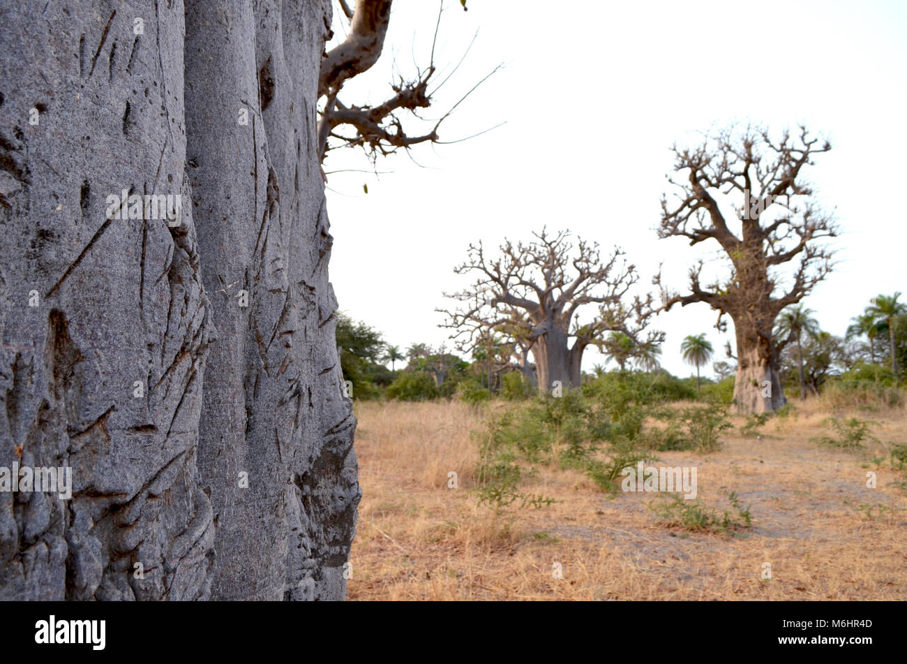 African baobabs in the North African savannah (Senegal, region of the Saloum river delta) - Stock Image
