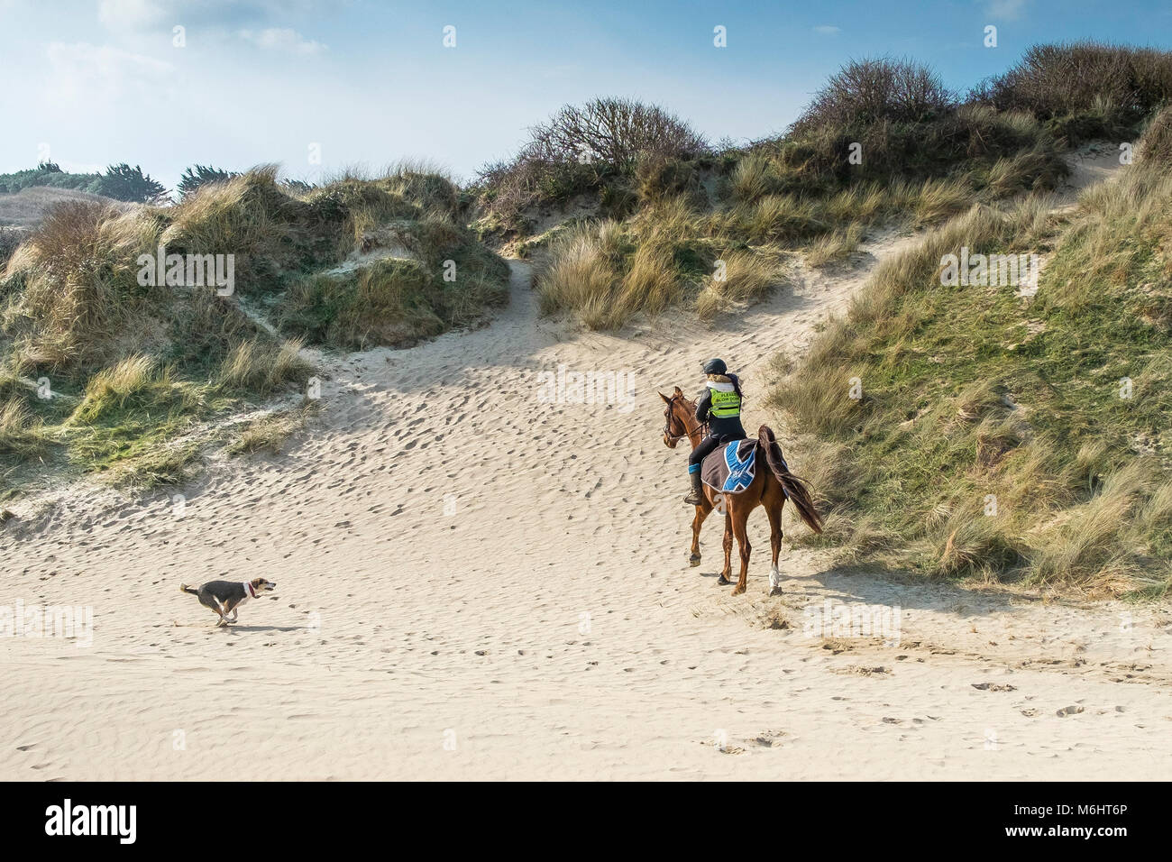 An off the lead dog running at a horse rider in the sand dunes at Crantock in Newquay Cornwall. - Stock Image