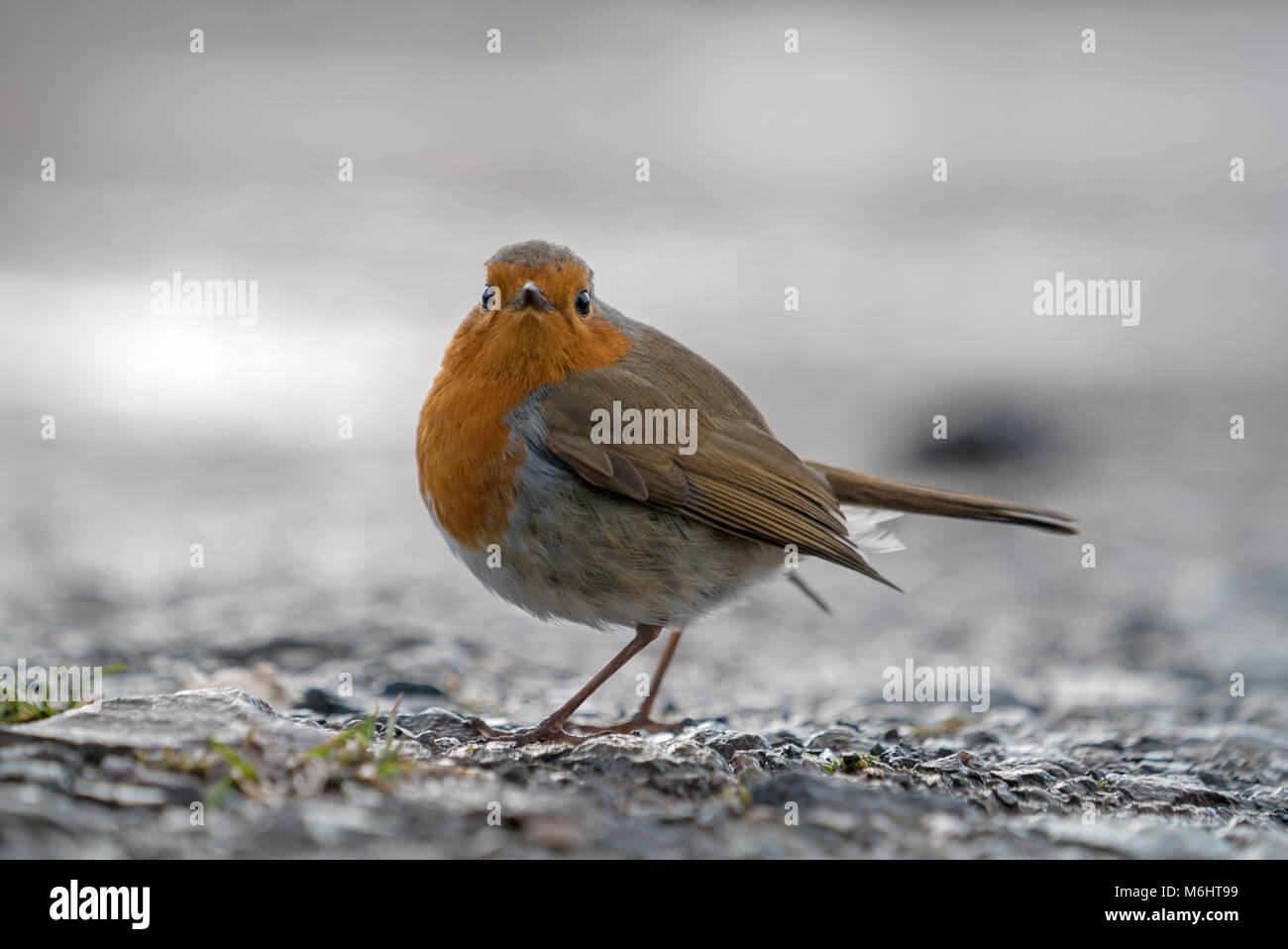 The European robin (Erithacus rubecula), robin redbreast, Erithacus rubecula, Passerine - Stock Image