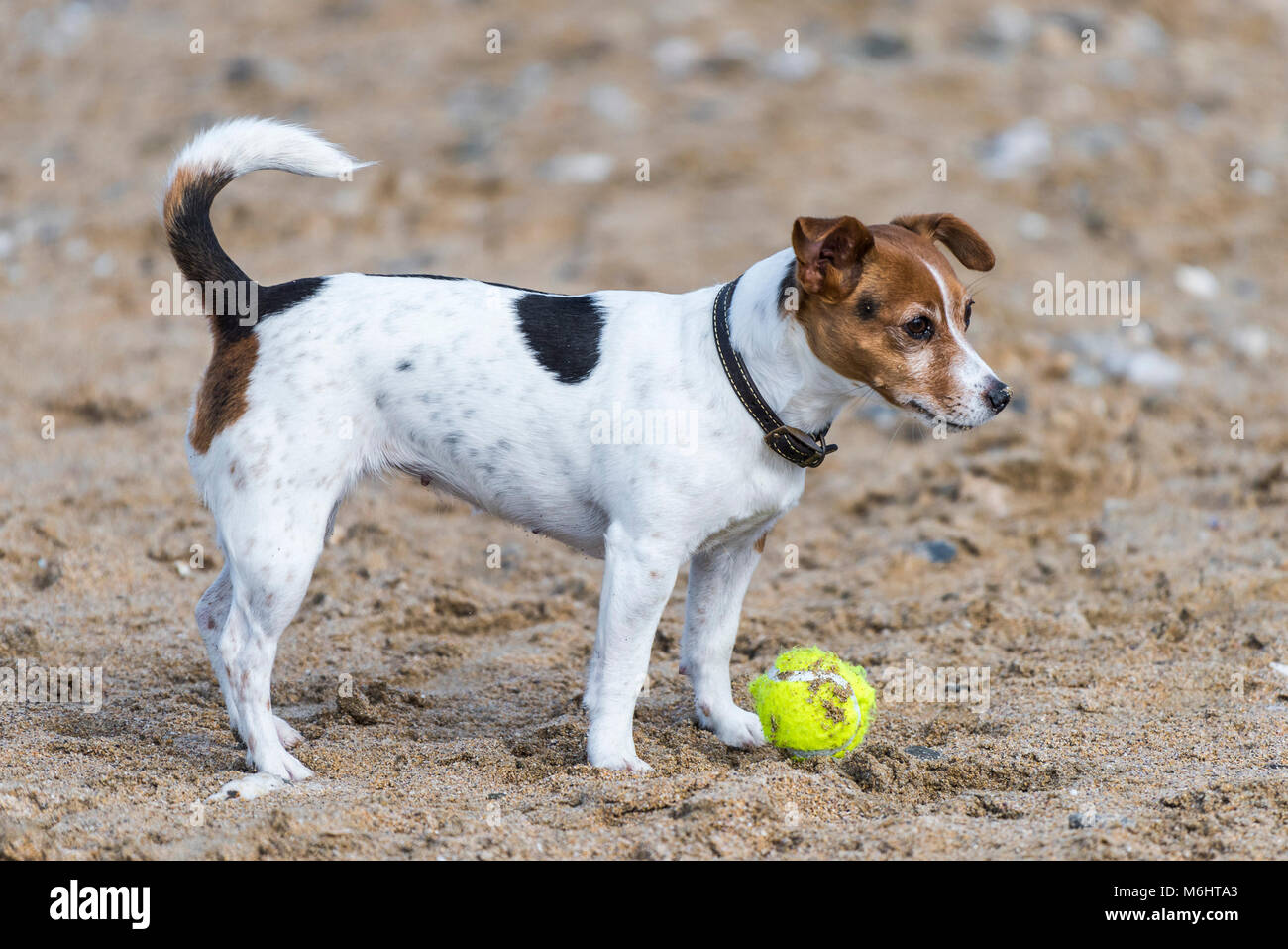 A Jack Russell Terrier patiently waiting for her ball to be thrown on Fistral Beach in Newquay Cornwall. - Stock Image