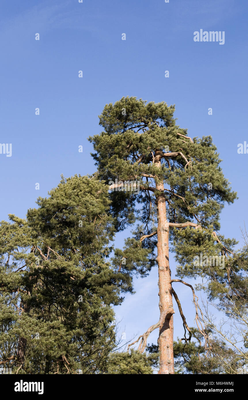 Pinus sylvestris. Scots Pine Tree against a blue sky in Winter. - Stock Image