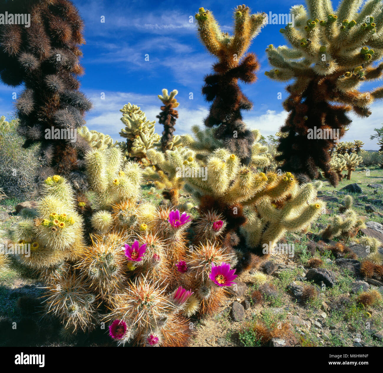 Hedgehogs, Cholla, Cholla Garden, Joshua Tree National Park, California - Stock Image