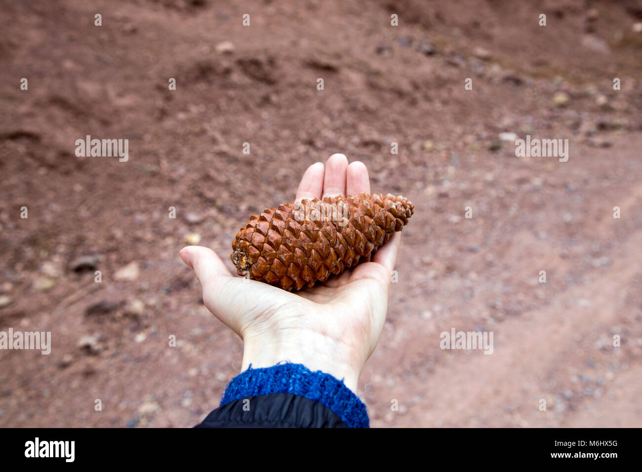 Hand holding pine cone with a barren ground background, Atlas Mountains, Morocco - Stock Image