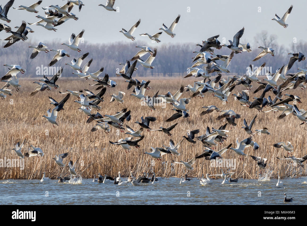 Spring migration of snow geese (Chen caerulescens), Loess Bluffs National Wildlife Refuge, Missouri, USA - Stock Image