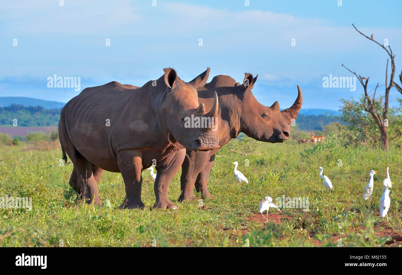 Kruger Park, South Africa. A wildlife and bird paradise. Southern white rhino grazing. - Stock Image