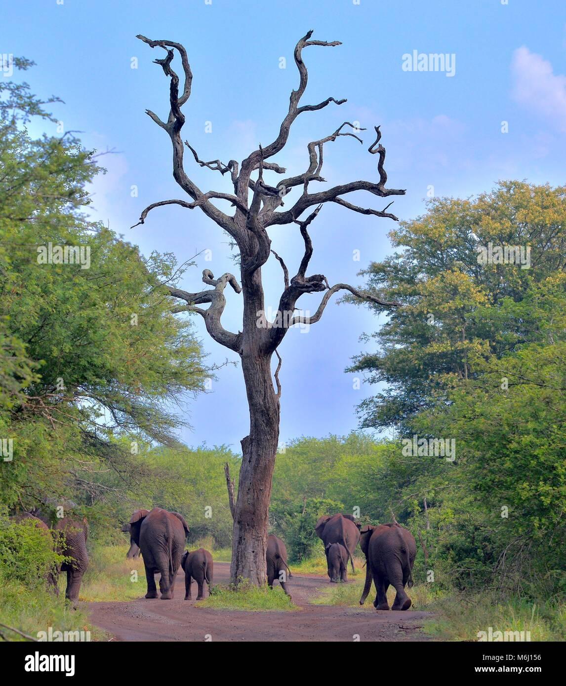Kruger Park, South Africa. A wildlife and bird paradise. African elephant Loxodonta africana - Stock Image