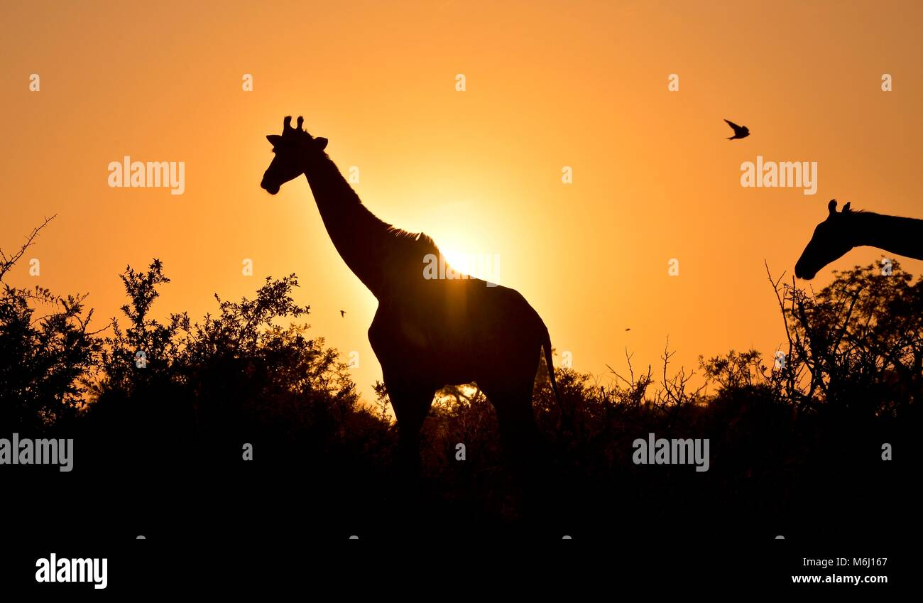 Kruger Park, South Africa. A wildlife and bird paradise. Long necked giraffe silhouette at sunrise - Stock Image