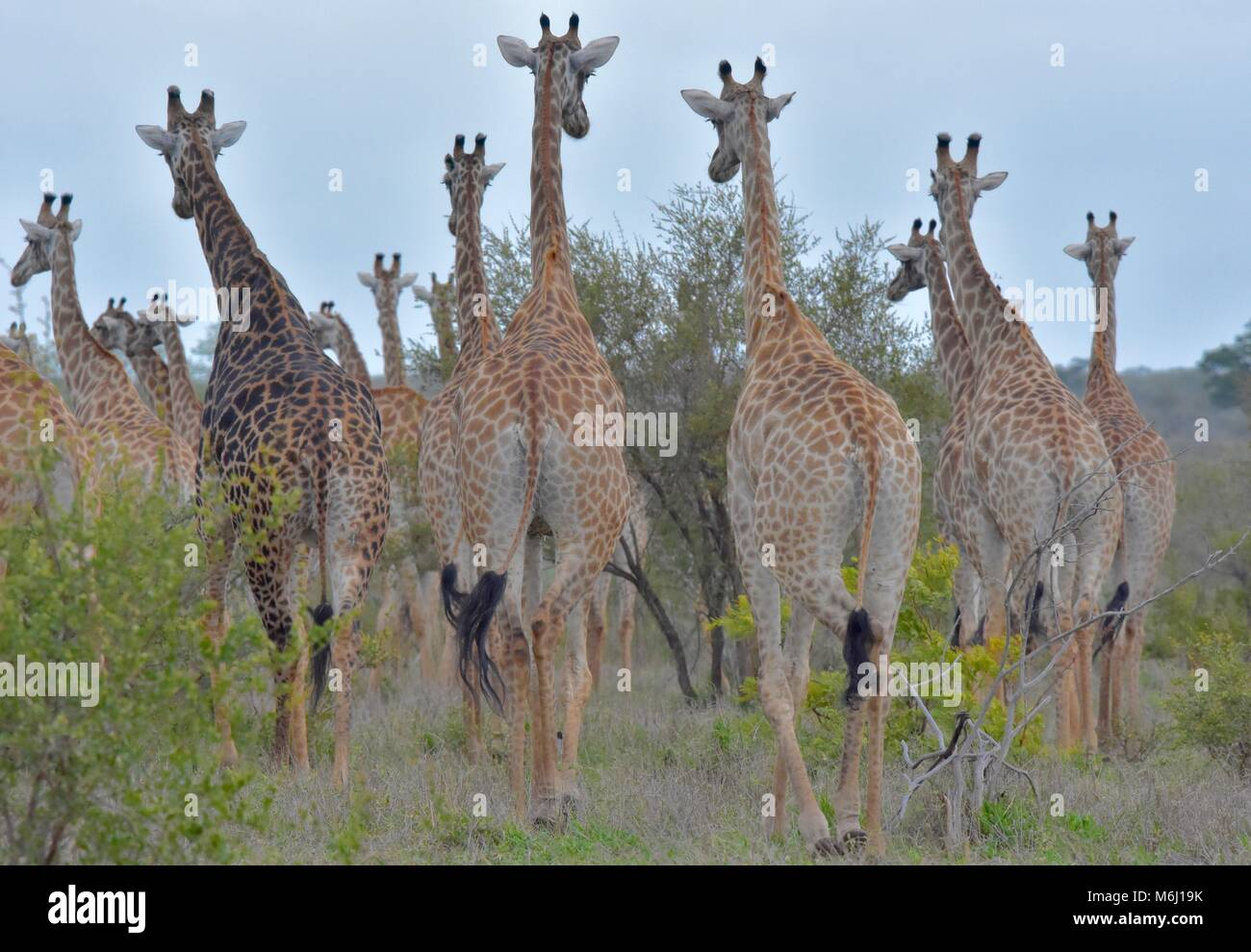 Kruger Park, South Africa. A wildlife and bird paradise. Herd of giraffe from behind. Stock Photo