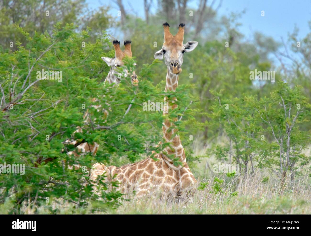 Kruger Park, South Africa. A wildlife and bird paradise. Giraffe resting on ground. - Stock Image