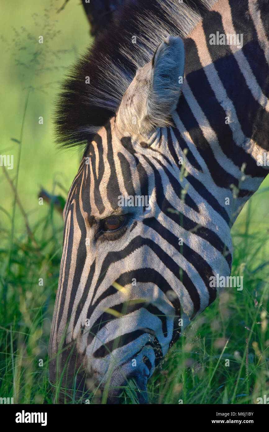 Kruger Park, South Africa. A wildlife and bird paradise. Zebra head eating green grass. - Stock Image