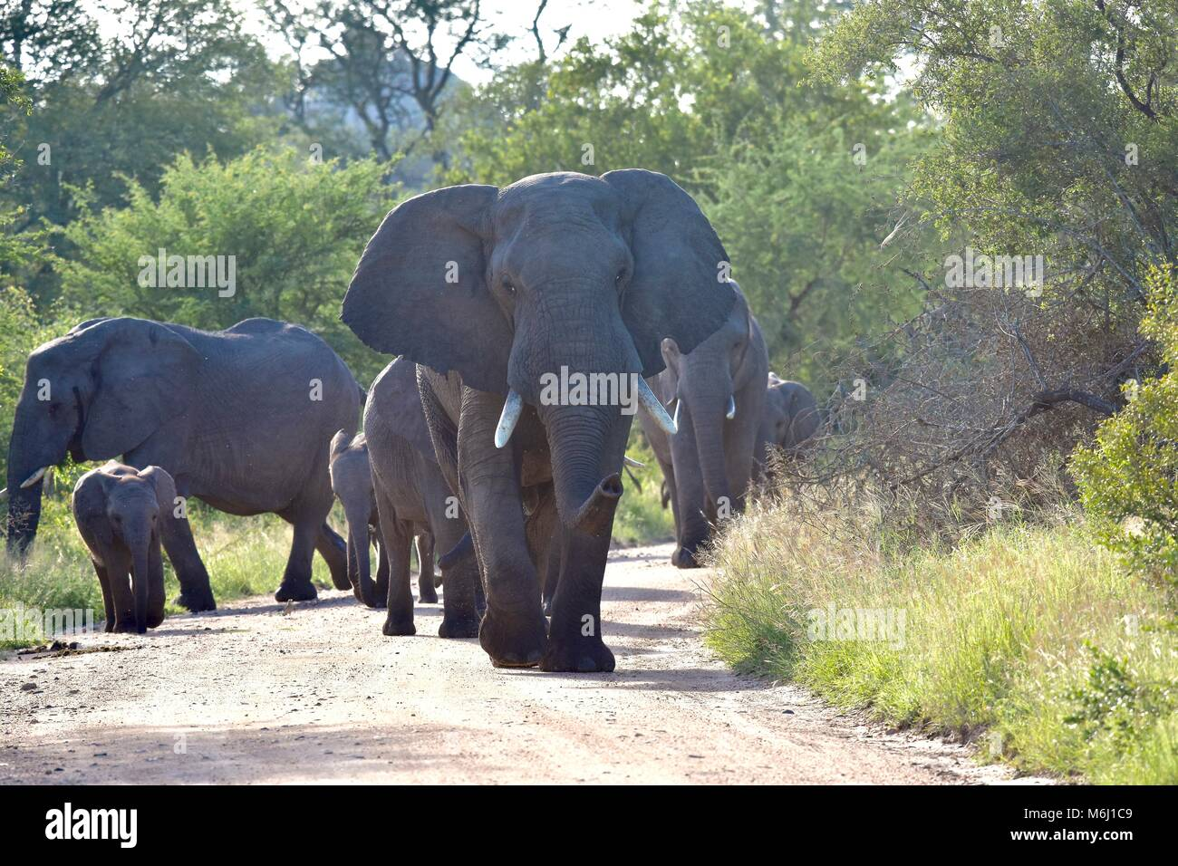 Kruger Park, South Africa. A wildlife and bird paradise. African elephant bull in aggressive muth mode - Stock Image