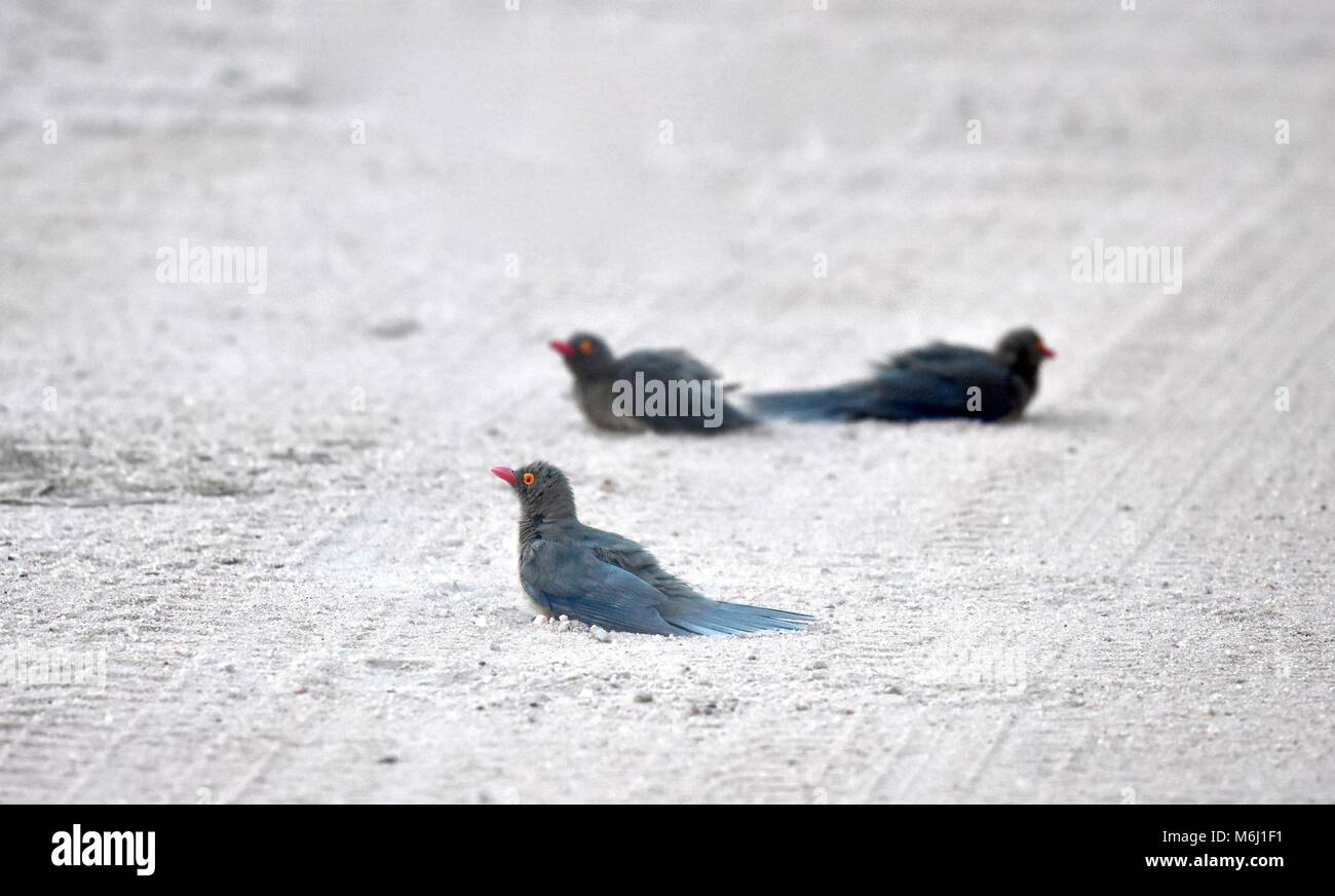 Kruger Park, South Africa. A wildlife and bird paradise. Red billed oxpeckers having dust bath in road. - Stock Image