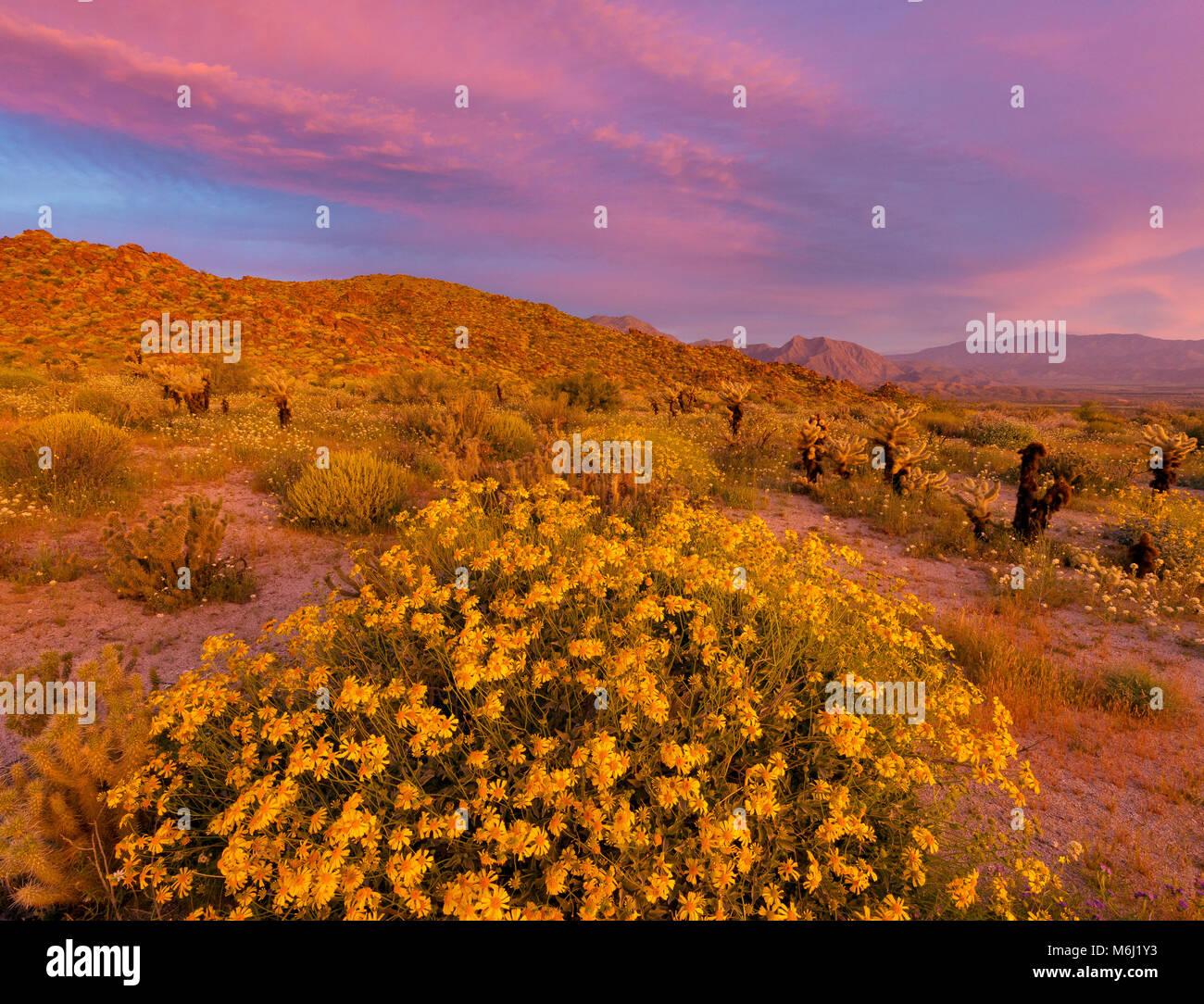 Dawn, Brittlebush, Glorietta Canyon, Anza-Borrego Desert State Park, California - Stock Image