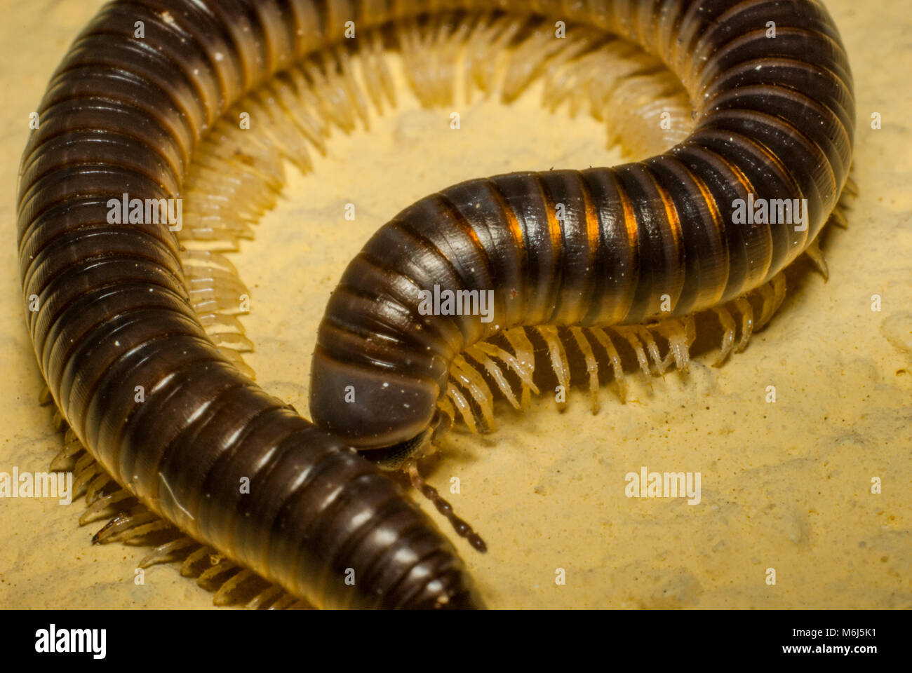 Is A Millipede A Worm Stock Photos & Is A Millipede A Worm