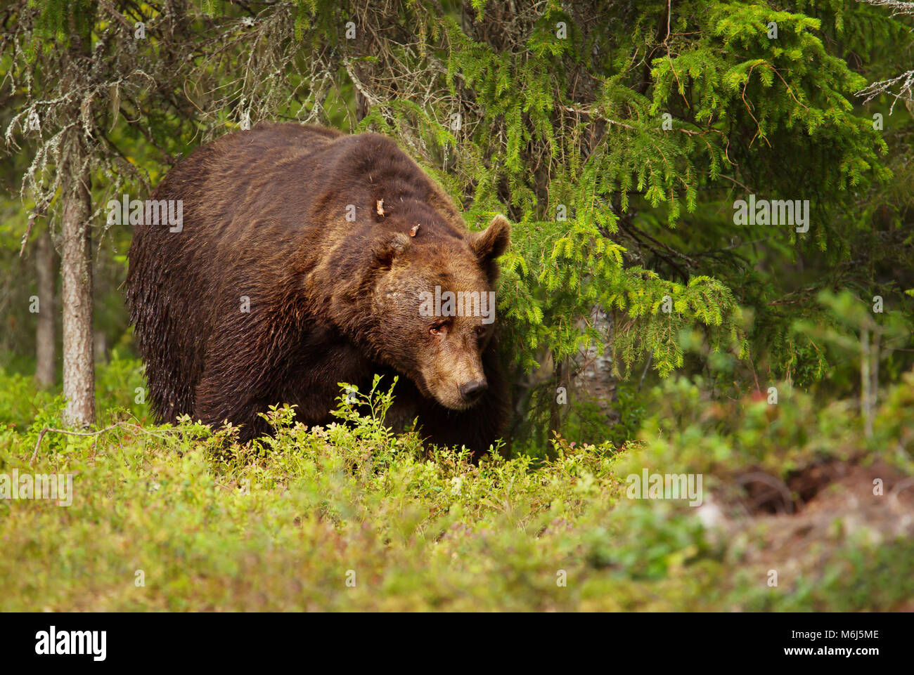 Close up of European brown bear (ursos arctos) male in boreal forest, Finland. - Stock Image