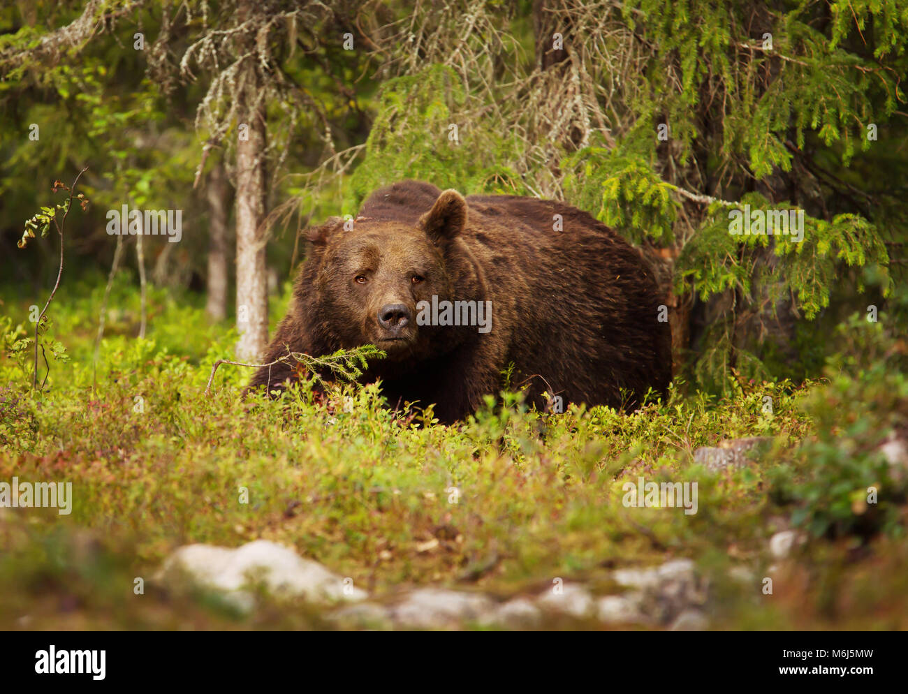 Close up of European brown bear male in boreal forest, Finland. - Stock Image