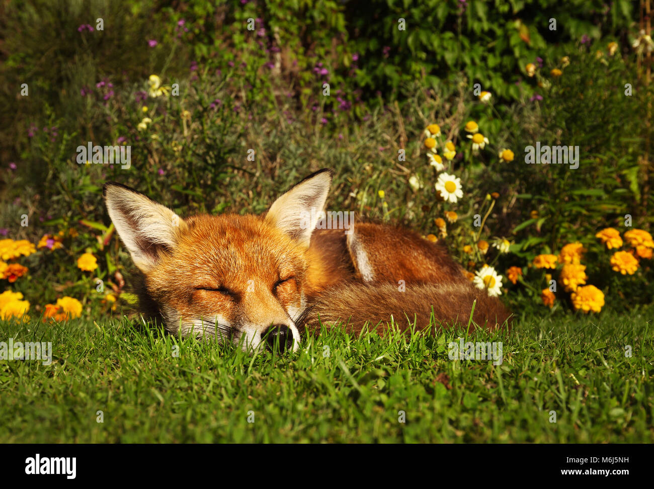 Red fox sleeping in the garden with flowers, summer in UK. Stock Photo
