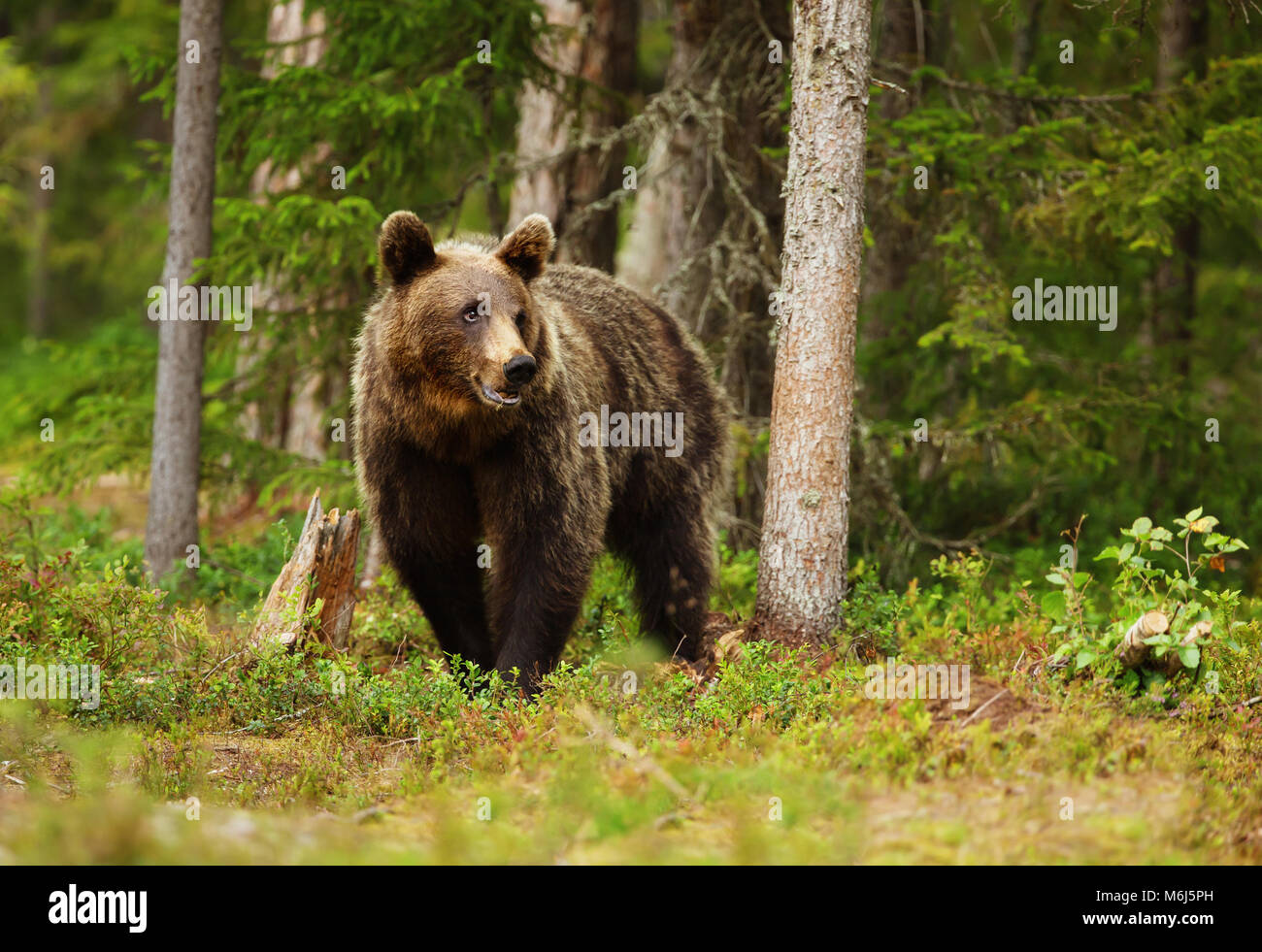 European brown bear (ursos arctos) male in boreal forest, Finland. - Stock Image