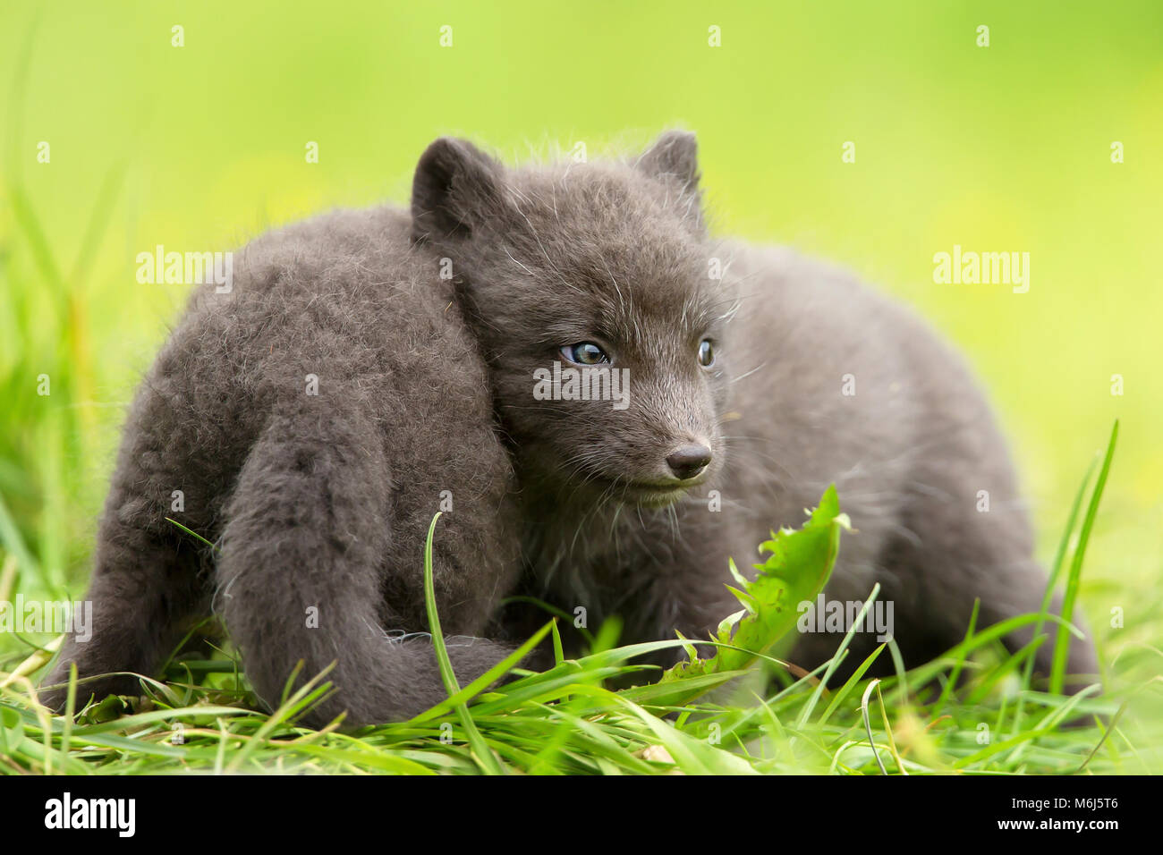 Arctic fox Vulpes lagopus cubs playing with each other, summer in Iceland. - Stock Image