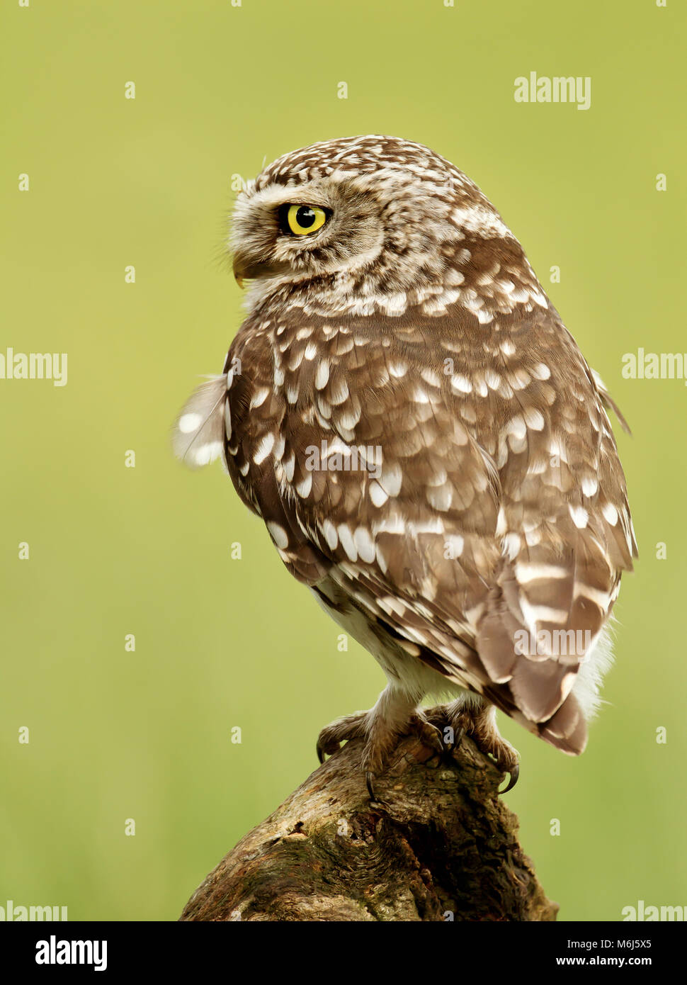 Close up of a Little owl perching on a log, UK. - Stock Image