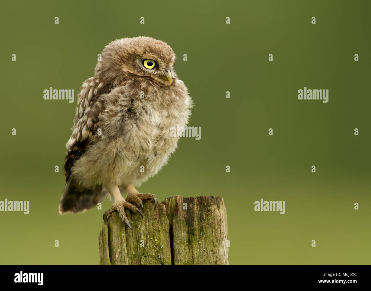 Juvenile Little owl perching on a post against green background, UK. - Stock Image