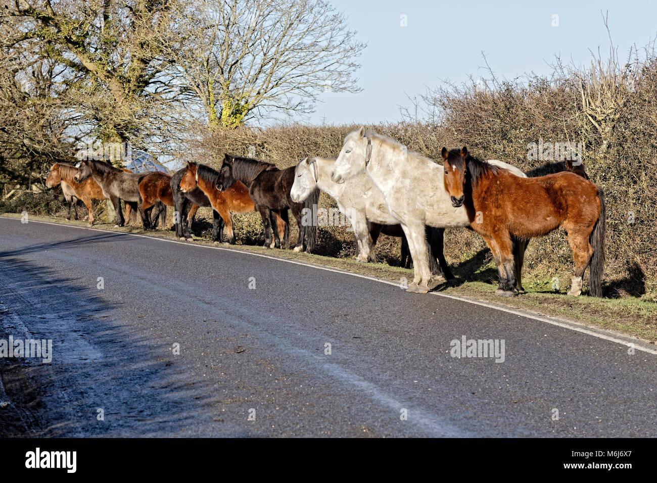 New Forest ponies in the UK line a road and stand in sunshine - Stock Image