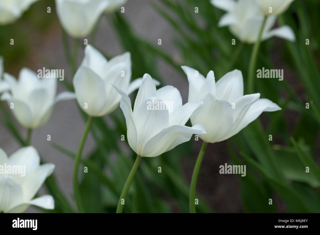 'White Triumphator' Lily Flowered Tulip, Liljetulpan (Tulipa gesneriana) Stock Photo