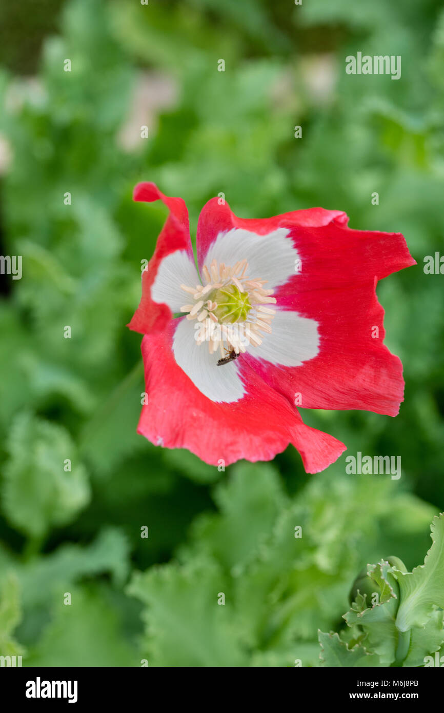 'Dannebrog' Opium Poppy, Pionvallmo (Papaver somniferum) Stock Photo