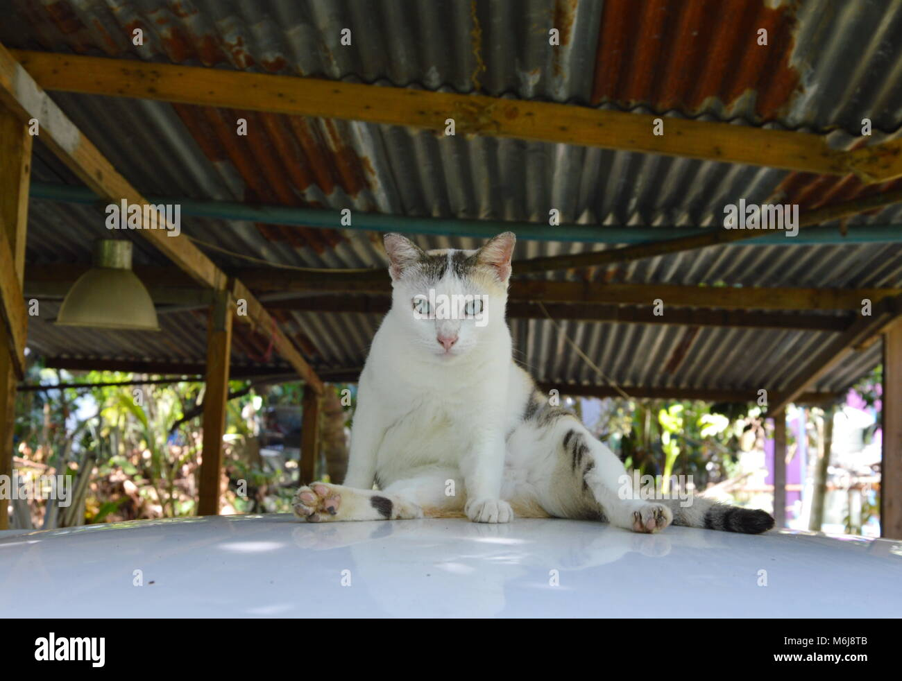 white cat sitting on car roof in garage - Stock Image