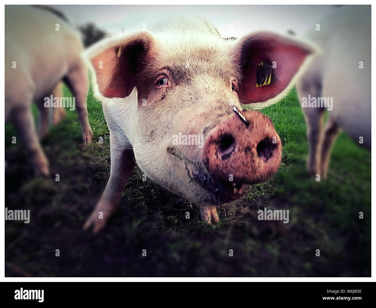 group of pigs watching towards the observer - Stock Image