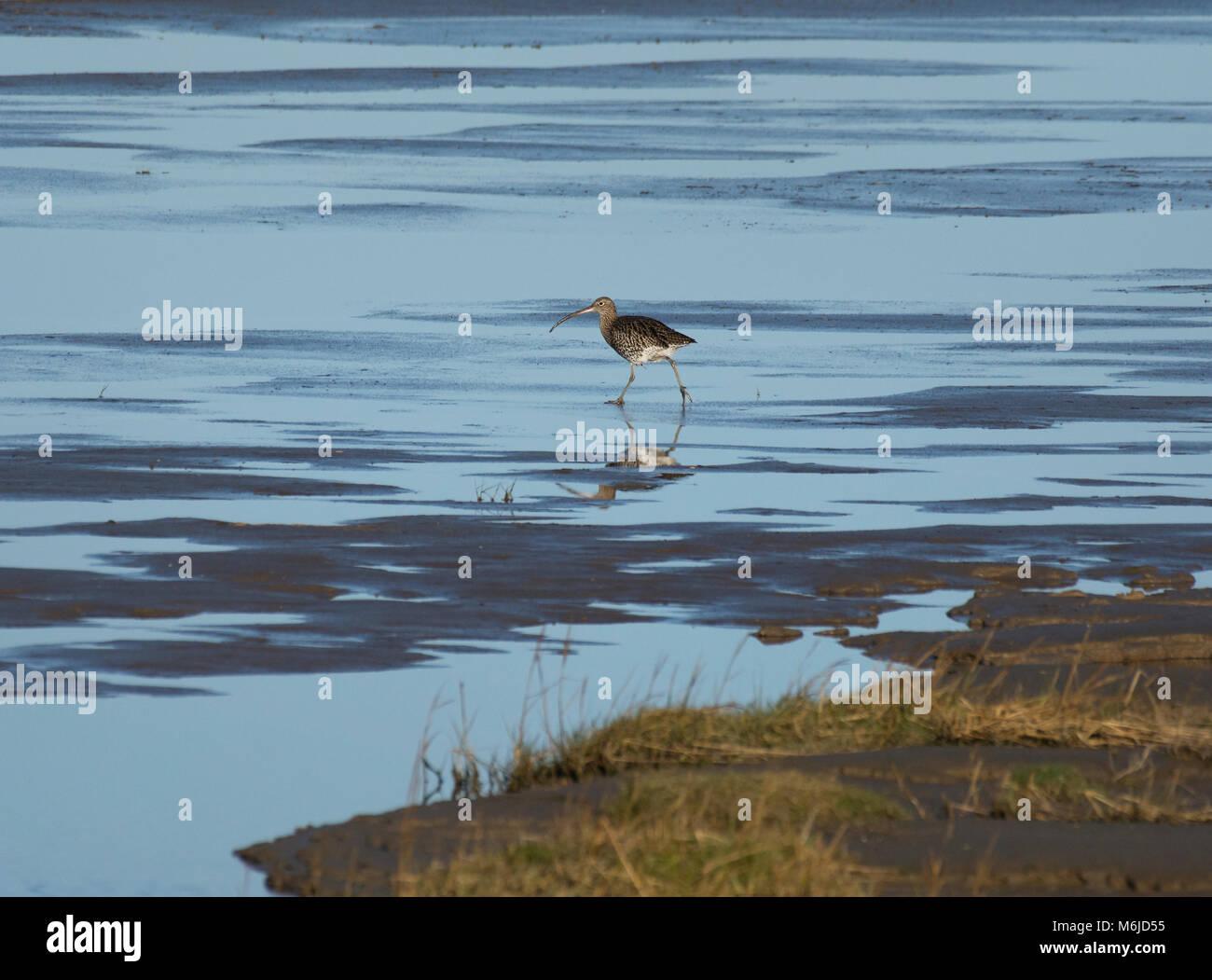 Curlew, Numenius arquata, foraging in salt marsh, Morecambe Bay, Lancashire, UK Stock Photo