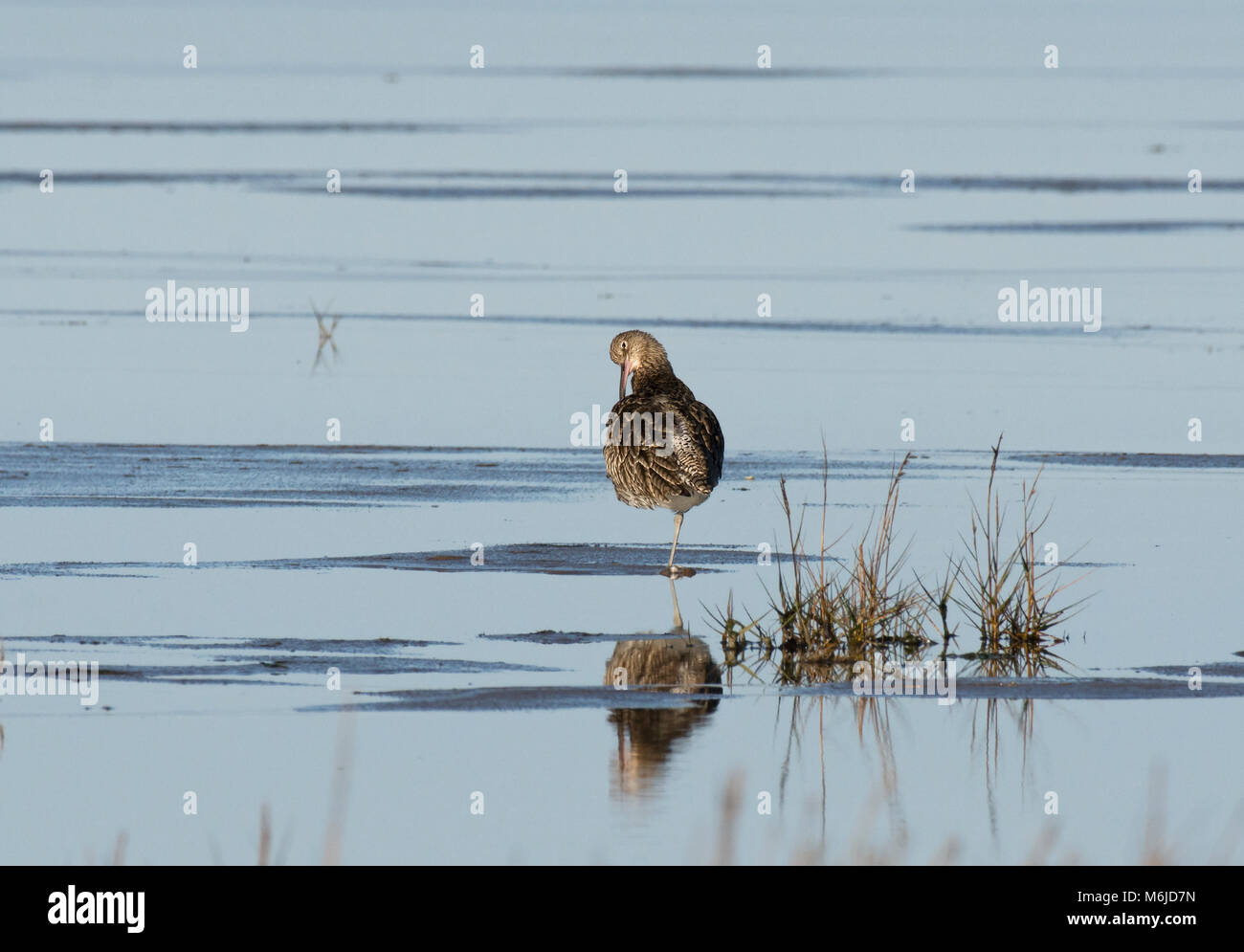 Curlew, Numenius arquata, preening in salt marsh, Morecambe Bay, Lancashire, UK Stock Photo