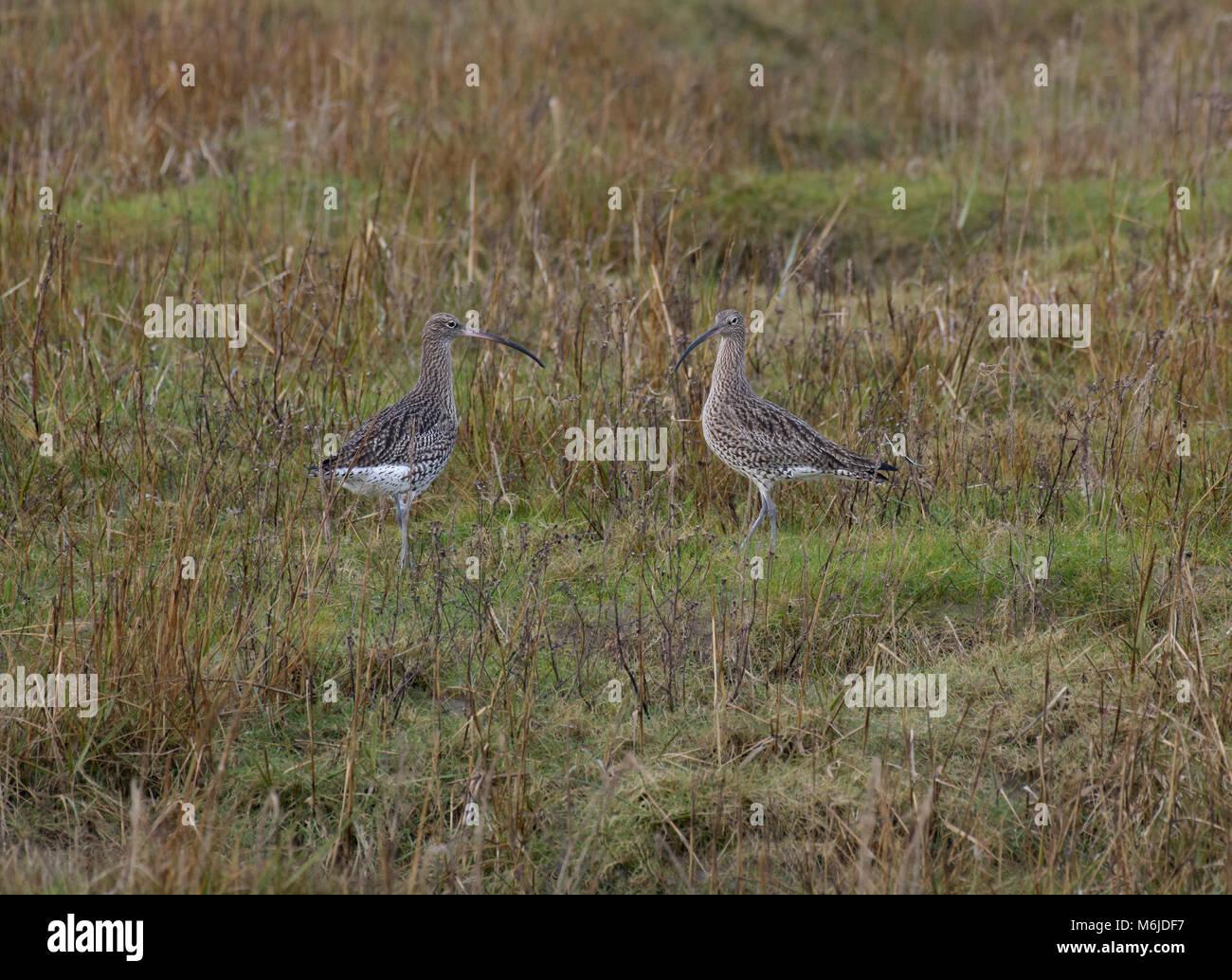 Two Curlew, Numenius arquata, foraging in salt marsh, Morecambe Bay, Lancashire, UK Stock Photo