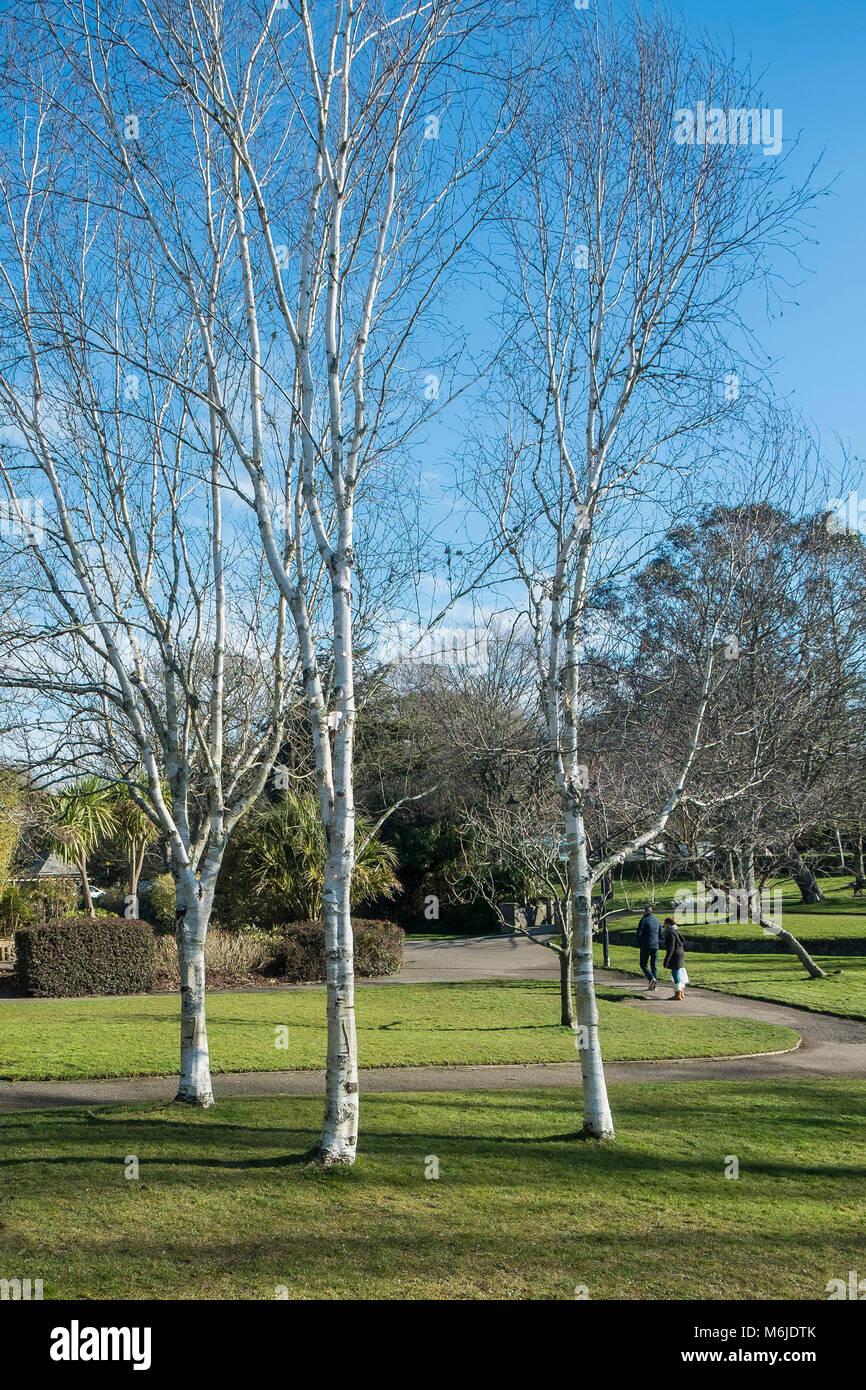 Three Silver Birch Betula pendula trees in Trenance Gardens in Newquay Cornwall. - Stock Image